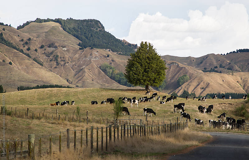 Scenic landscape of cows in pastoral farm pasture by Matthew Spaulding for Stocksy United