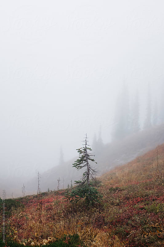 single small pine stands out in fog high mountain landscape northwest by Jesse Morrow for Stocksy United