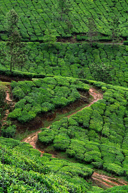 Tea plantation by Leander Nardin for Stocksy United