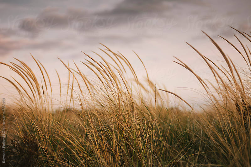 Beach Dune Grass in Autumn Massachusetts by Raymond Forbes LLC for Stocksy United
