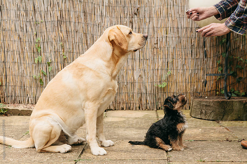 Adult and puppy dogs being trained by kkgas for Stocksy United