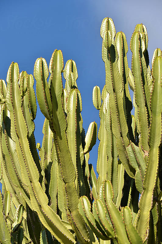 Cactus on the island, Ibiza by Bisual Studio for Stocksy United