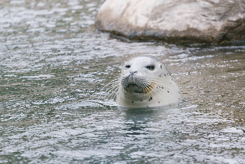 Captive Harbor Seal in the water by Mihael Blikshteyn for Stocksy United