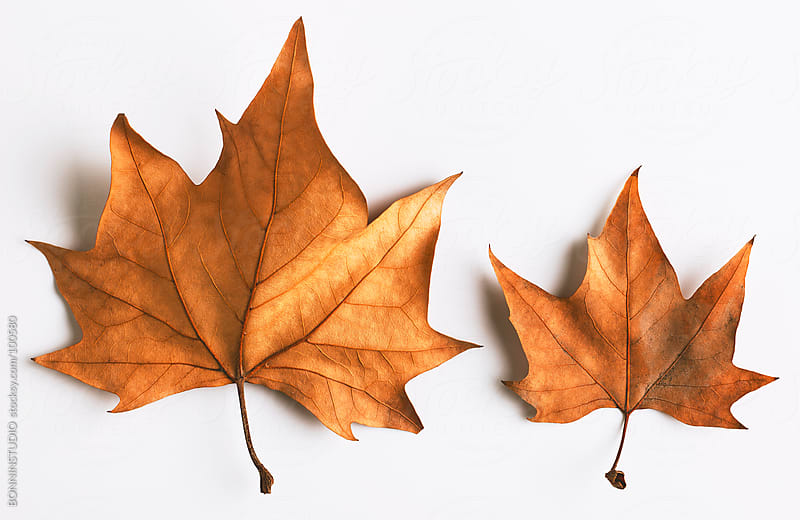 Maple Leaf. Autumn. by BONNINSTUDIO for Stocksy United