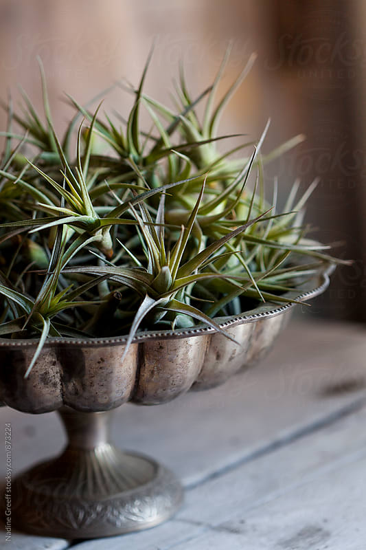 Arrangement of air plants by Nadine Greeff for Stocksy United