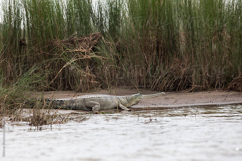A wild Gharial seen in Chitwan National Park. by Shikhar Bhattarai for Stocksy United