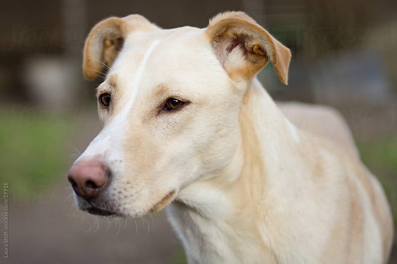 Portrait of beautiful yellow labrador looking away in garden by Laura Stolfi for Stocksy United