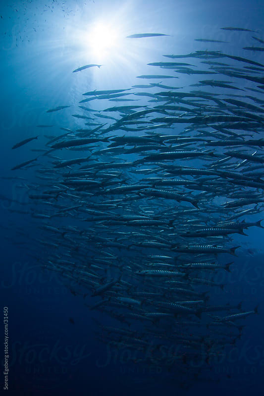 Group of fish swimming in the blue ocean with sun  by Soren Egeberg for Stocksy United