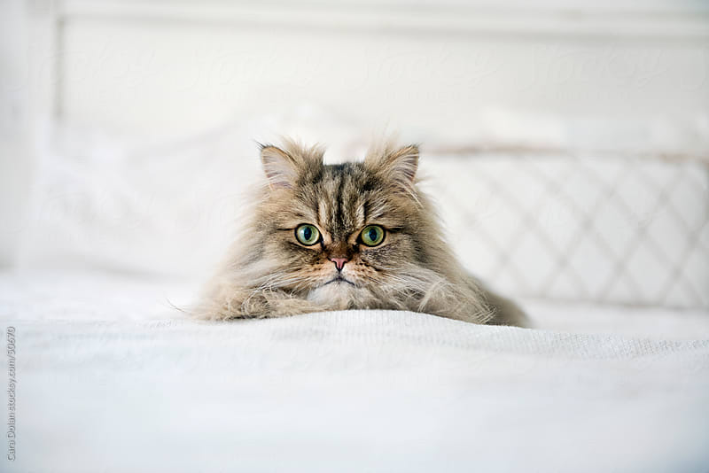 Persian cat lies on big white bed by Cara Dolan for Stocksy United