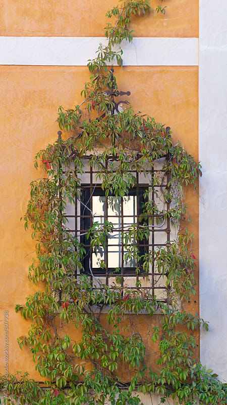 Climbing plant entangled in the bars of a window by ACALU Studio for Stocksy United