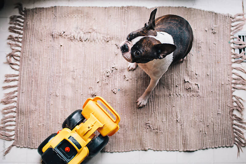 A Boston Terrier vs. a Bulldozer toy truck. by Sarah Lalone for Stocksy United