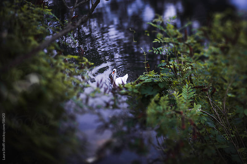Lonely adult swan swimming in placid waters in the woods by Laura Stolfi for Stocksy United