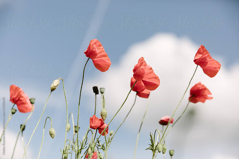 Tall field poppies blowing in the breeze. by Helen Rushbrook for Stocksy United