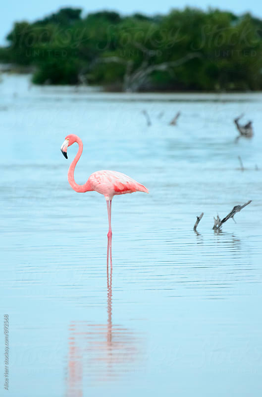 Pink flamingo and it's pale reflection in waters of mangrove forest by Alice Nerr for Stocksy United