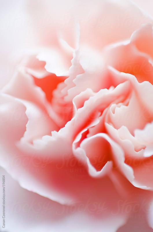 dianthus flower by Canan Czemmel for Stocksy United
