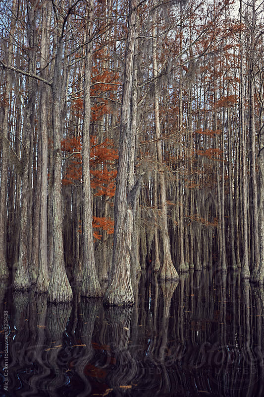 Fall colors in a Cypress tree pond by Alicja Colon for Stocksy United