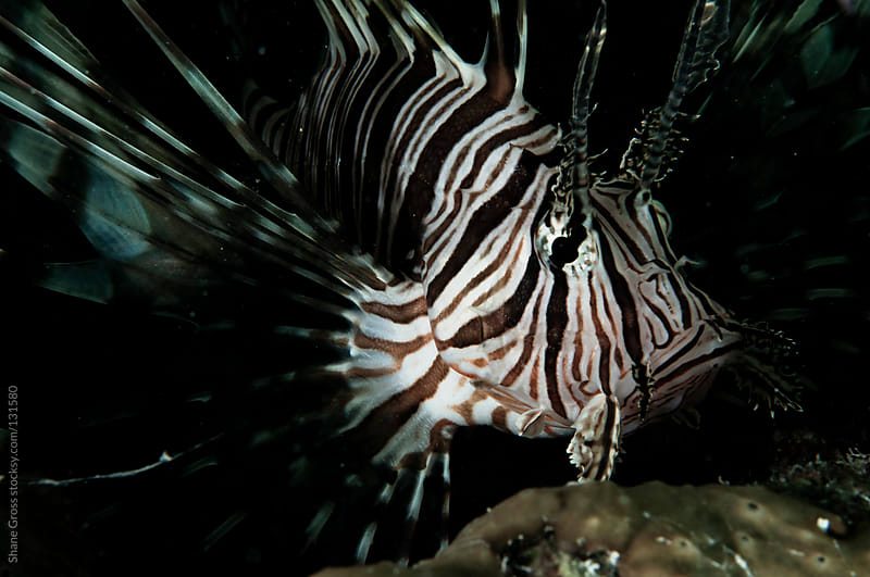 Lionfish Face by Shane Gross for Stocksy United