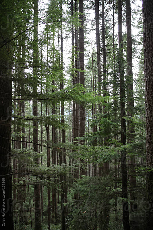Douglas Fir Trees In The Forest Of The Pacific Northwest by Carey Haider for Stocksy United