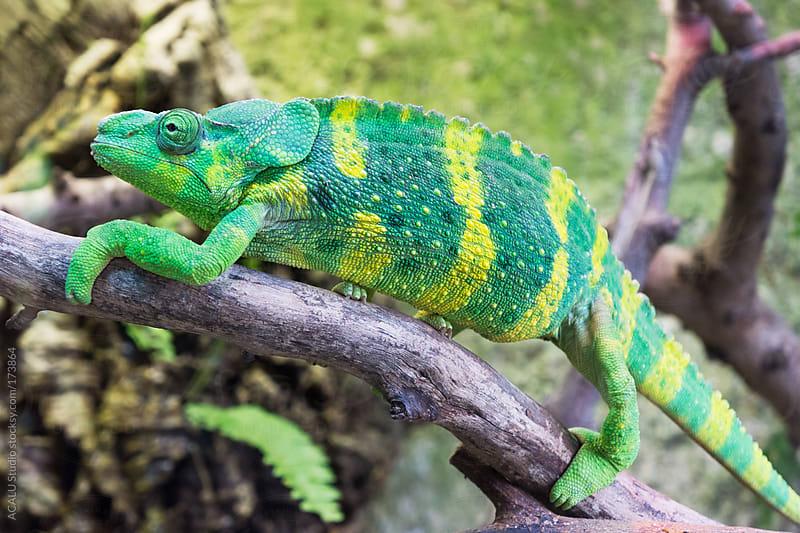 Meller Chameleon by ACALU Studio for Stocksy United