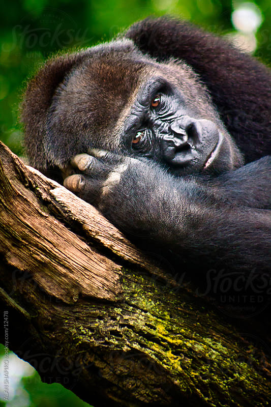 Lowland Gorilla Female by alan shapiro for Stocksy United