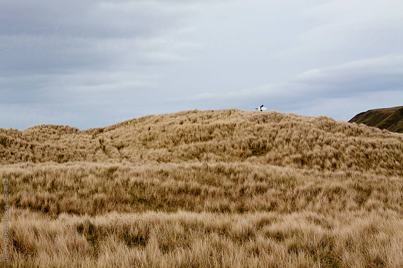 Two surfers walking through the dunes in search for waves by Denni Van Huis for Stocksy United