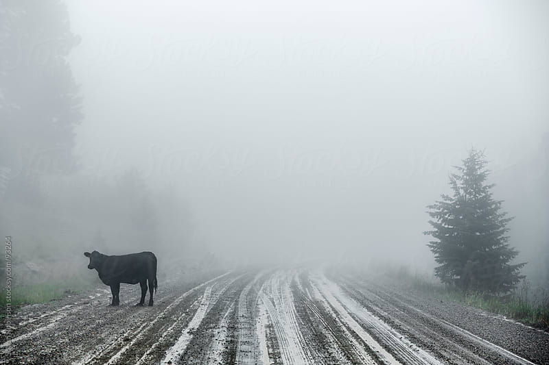A foggy road with a cow on it by Shaun Robinson for Stocksy United