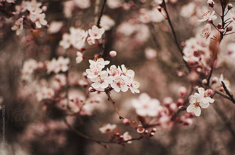 Cherry Blossoms by Evan Dalen for Stocksy United