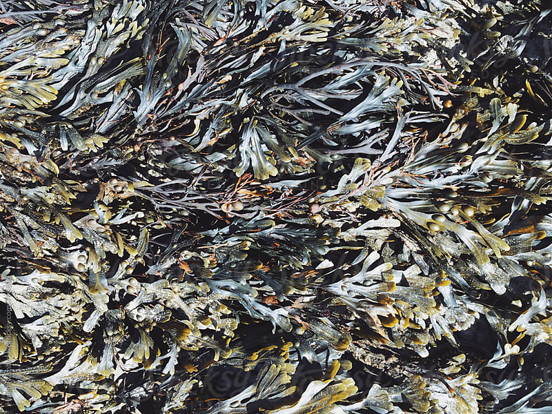 seaweed by Helen Rushbrook for Stocksy United