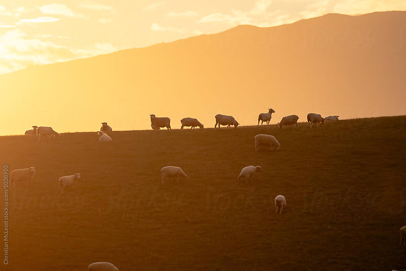 Sheep ridden sunset. by Christian McLeod Photography for Stocksy United