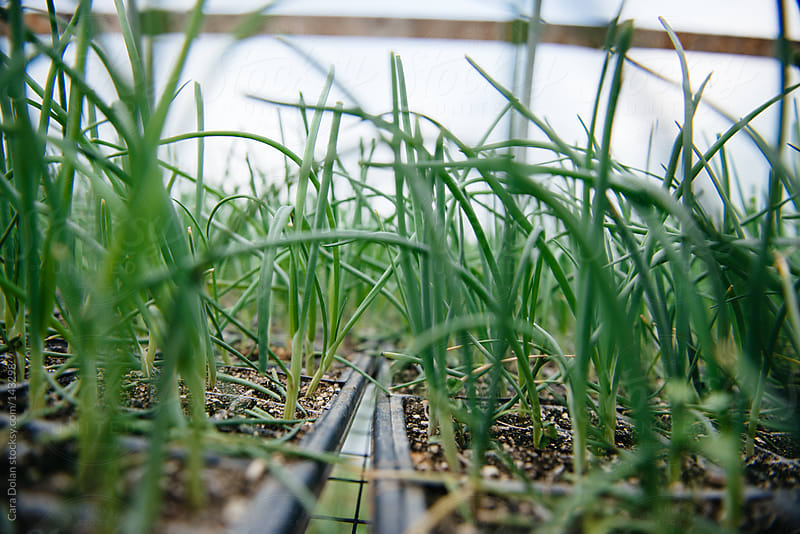 Chive plants growing in a farm greenhouse by Cara Dolan for Stocksy United