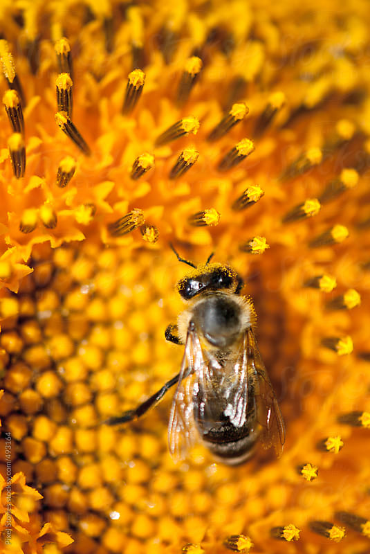 Bee on sunflower by Pixel Stories for Stocksy United