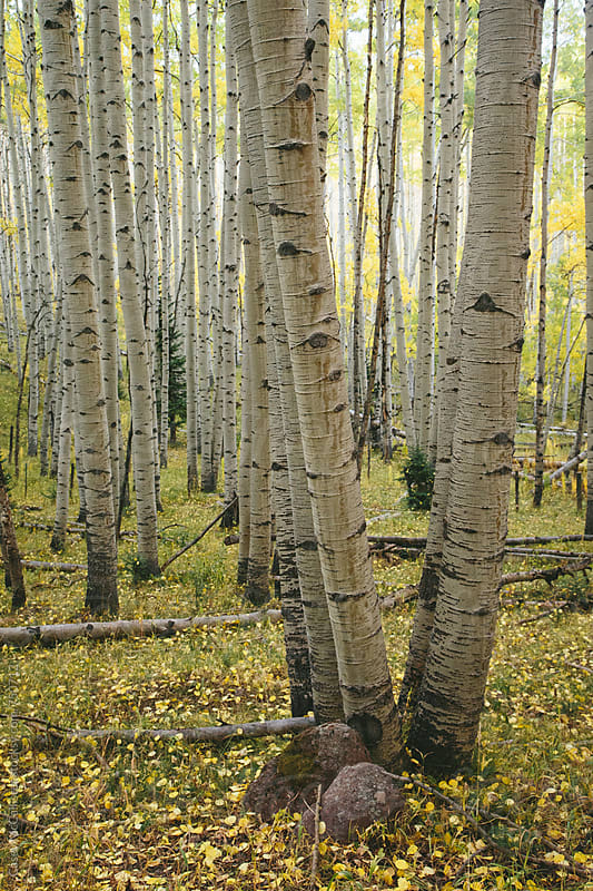 Two Aspen Trees by Casey McCallister for Stocksy United