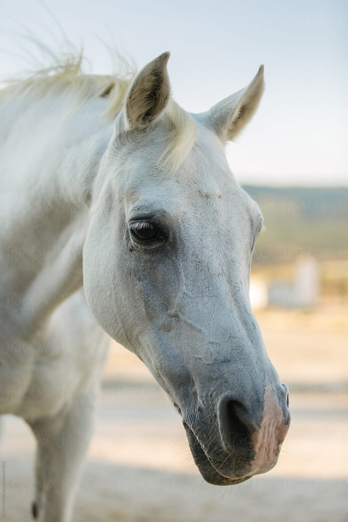 Portrait Of A 25 Years Old White Horse In The Countryside By Victor Torres Horse Portrait Stocksy United