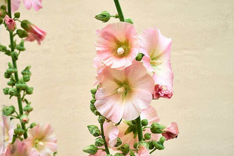 Light pink flowers outdoor by Trent Lanz for Stocksy United