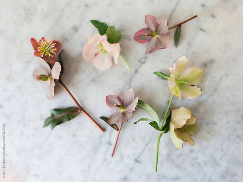 Hellebores flowers on marble by Marta Locklear for Stocksy United