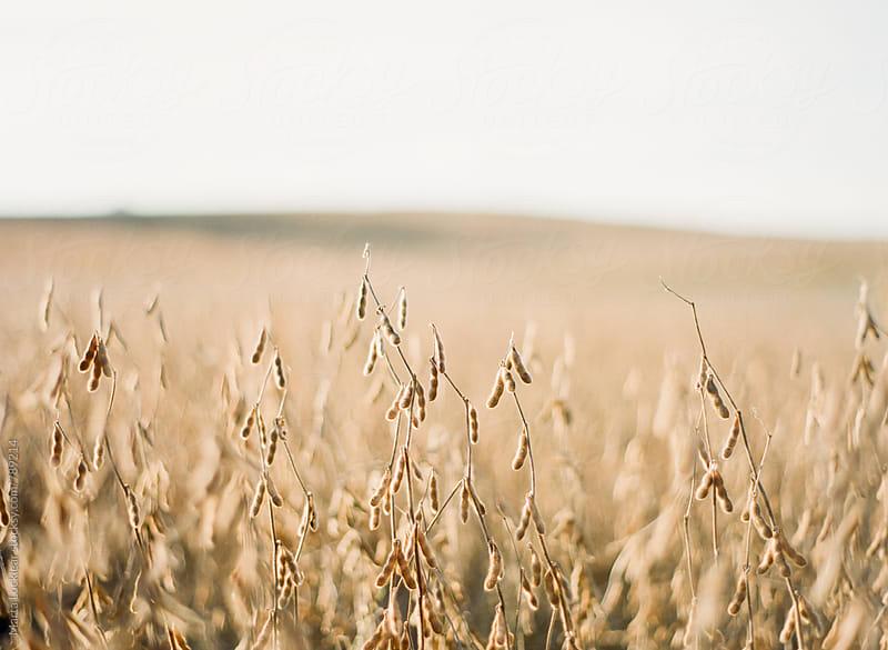 Soybeans by Marta Locklear for Stocksy United