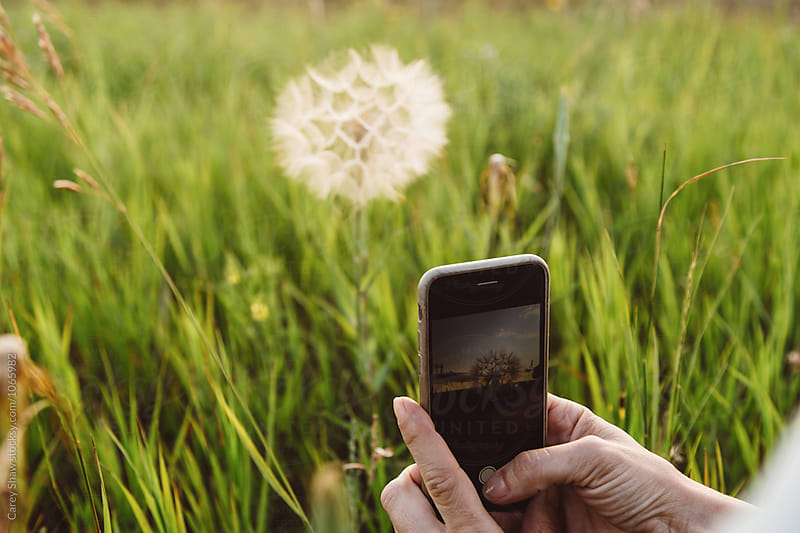 Taking picture of dandelion with mobile phone by Carey Shaw for Stocksy United