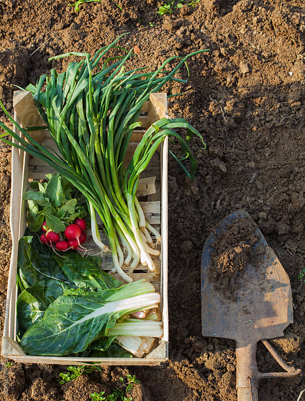 Spring vegetables from the garden by Jelena Jojic Tomic for Stocksy United