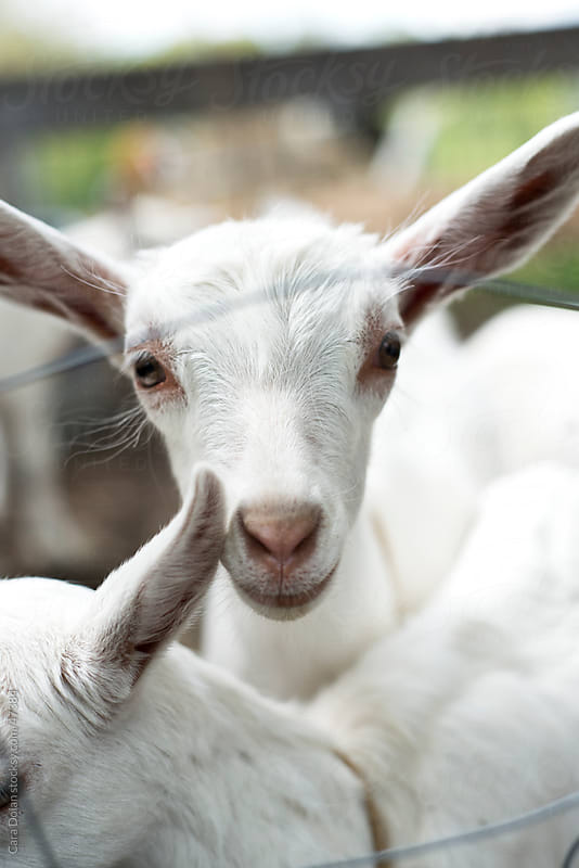 Baby goat looks through metal fence on farm by Cara Dolan for Stocksy United