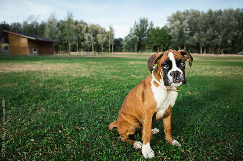 Boxer puppy in a park by CACTUS Blai Baules for Stocksy United