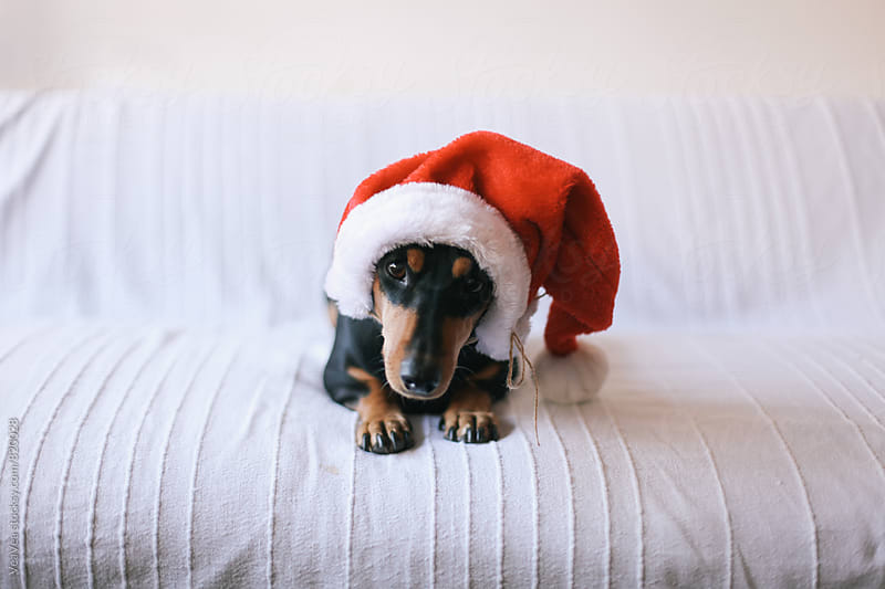 Small black dog wearing Santa Claus hat  by Marija Mandic for Stocksy United