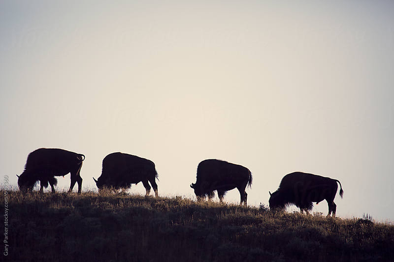 A line of bison migrating across a ridge in Yellowstone National Park  by Gary Parker for Stocksy United