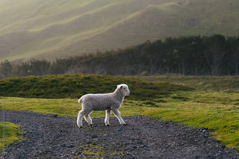 lamb crossing a rural New Zealand road by Cameron Zegers for Stocksy United