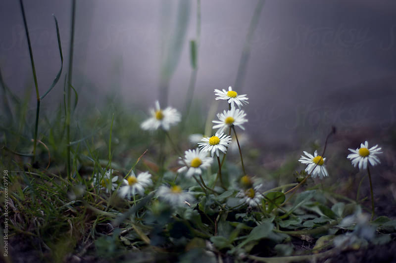 White daisies spring from the grassy earth in cool light by Rachel Bellinsky for Stocksy United