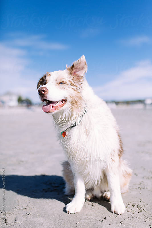 Cute dog smiling at the beach by Douglas Robichaud for Stocksy United
