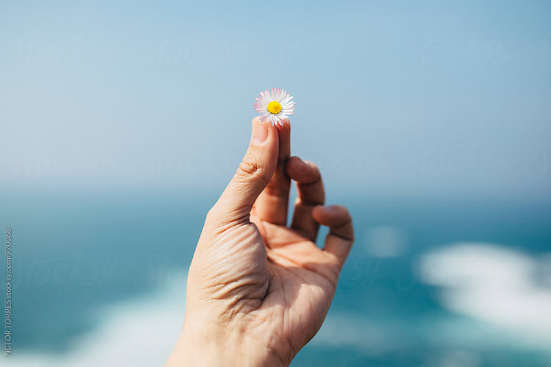 Hand Holding a Daisy Flower by Victor Torres for Stocksy United