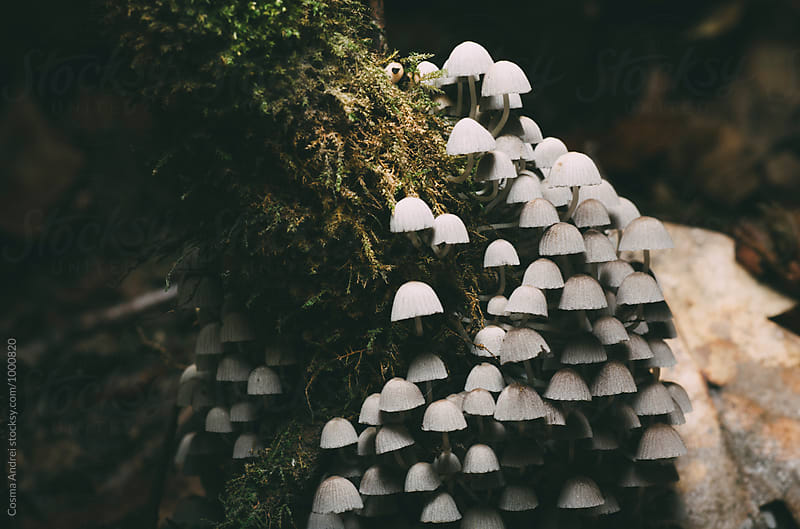 Wild mushrooms on moss by Cosma Andrei for Stocksy United