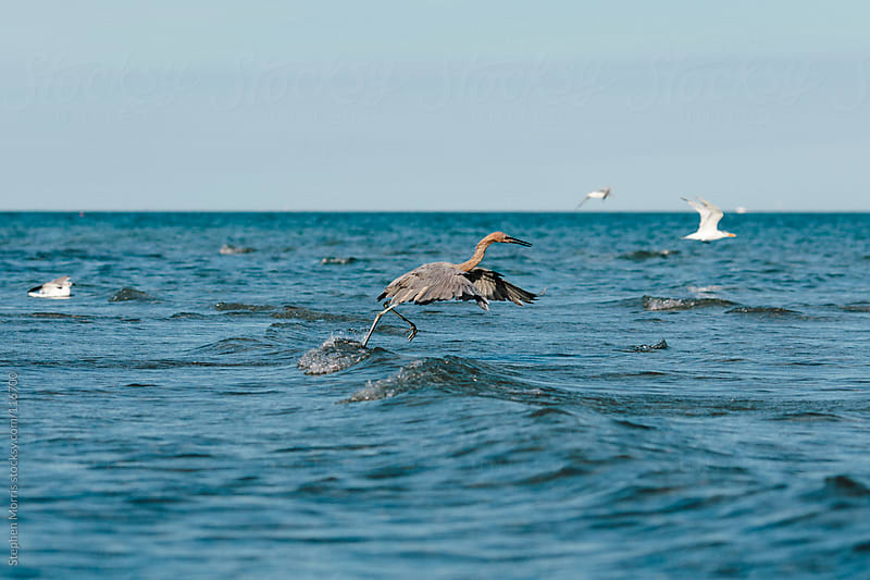 A heron in the water at Key Biscayne, Florida by Stephen Morris for Stocksy United