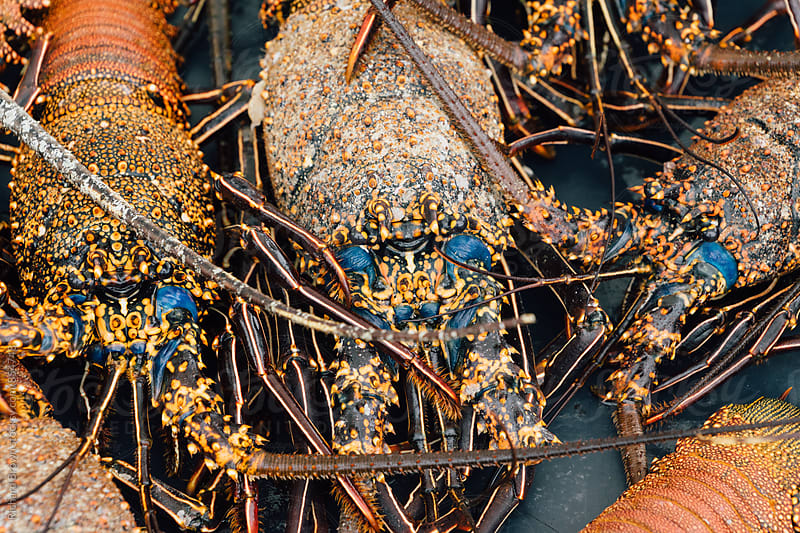 Orange and Blue Lobsters by Richard Brown for Stocksy United