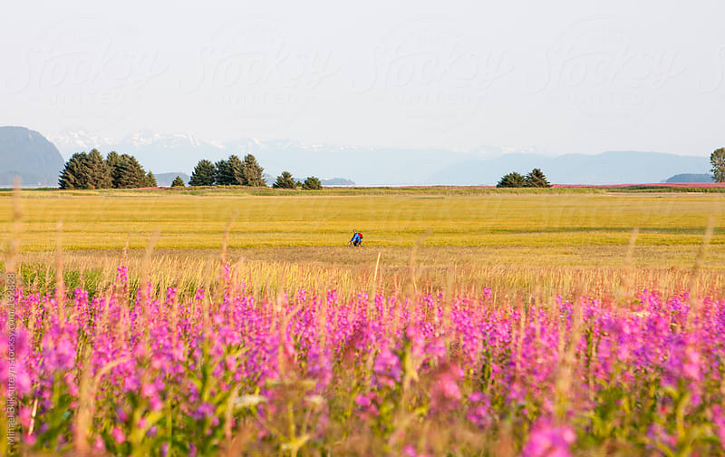 Bicyclist riding through a field with yellow grass and blooming fireweed by Mihael Blikshteyn for Stocksy United